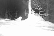 Her har Knut med hjelp av viltkamera funnet en Kattugle til Tinamor