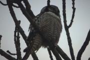 Knut har tatt bilde av Spurvuglen til Tinamor