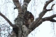 Knut jakter etter Ugler