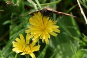 Se hvordan snabelen suger i seg nektar