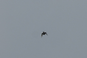 Mens jeg følger Skjæra, så ser Knut etter andre fugler
