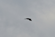 Men så oppdager jeg en rovfugl mens Knut tar bilde av de store fuglene