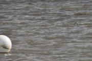 Når jeg ser disse små fuglene som flyr over vannet, tror jeg alltid det er Strandsnipe