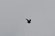 Jeg gjetter at dette er en Ringdue som flyr over her