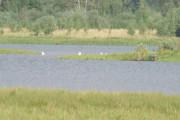 Knut prøver også å rekke ut til svanene, men blir litt for langt unna