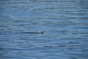 Men foran Pelikanbåten svømmer det en fugl i sjøen