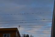 På vei ned til T-banen oppdager jeg en flokk med 19 Duer der oppe på ledningen
