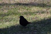 Men nå går jeg langs Slottsparken i Wergelandsveien og her er det fugler. Det første jeg ser er en Svarttrost hann