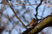 Neste fugl jeg ser er av det mindre slaget, tror det er en Bokfink