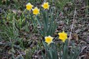 Påskeliljer er også plantet i Slottsparken