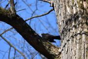 Ny fugl oppe i treet der, det er en Svarttrost hann