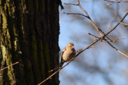Ny fugl av det lille slaget, kan det være en Bokfink unge?