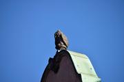 Men er det Ugler som det er fire stykker av på taket til Hotel Bristol?