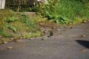 Men jeg lurte fælt på denne fuglen som gikk så rart i mellom spurvene