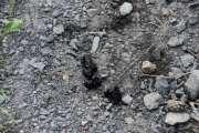 Litt lenger nede på stien ser jeg noe som kan ligne på Grevling bæsj, kan hende jeg tar feil her, men det er Grevling på Høyenhall