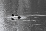 Vi ser på hannen en gang til, hvit flekk på skinnet og litt svartstripete på ryggen