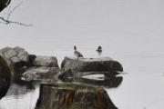 Og dette er vel noen Stokkender som koser seg i vannkanten