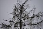Duene oppe i treet har jeg ikke skremt på hele turen, de sitter og halvsover enda