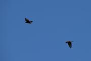 To svære fugler flyr over oss, trodde først det var Ørn men det viste seg og være Kråker