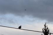 Morten 25 oktober 2020 - Politihelikopter og en Tyrkerdue over Høyenhall