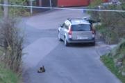 Renault og Katt som vasker seg