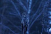Knut 16 desember 2019 - Lappugle i Maridalen til Tinamor, selv Simon Six ble imponert her